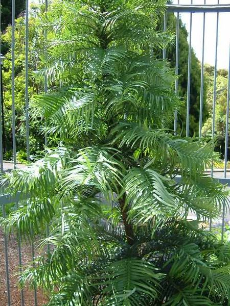 10 wollemi pine tree