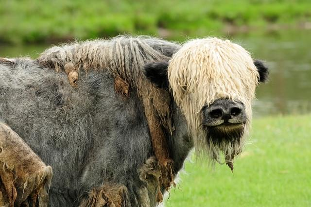 yak del tibet