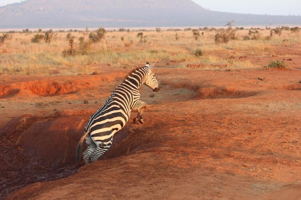 zebra tsavo ovest kenya