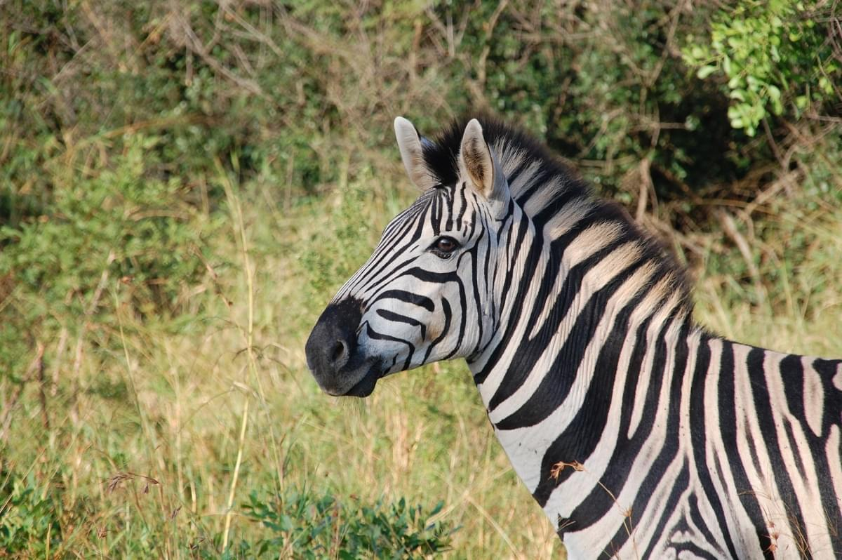 zebre in etiopia